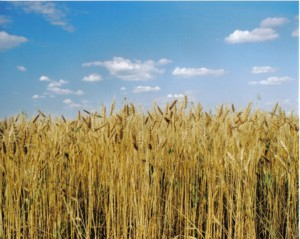 wheat-small.JPG